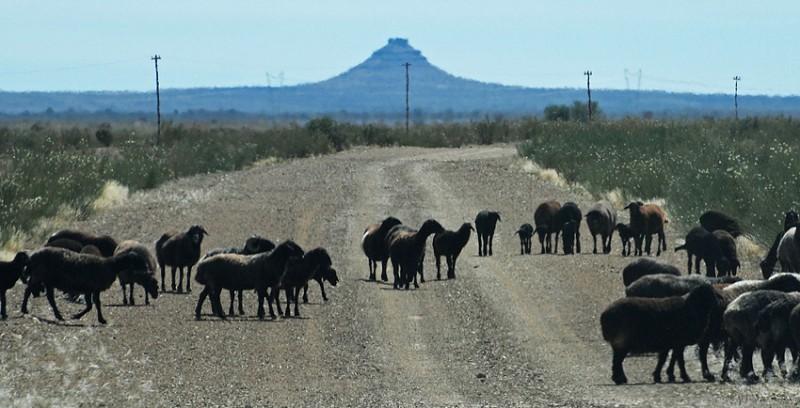 Karakul Sheep in Namibia Famous Karakul Sheep