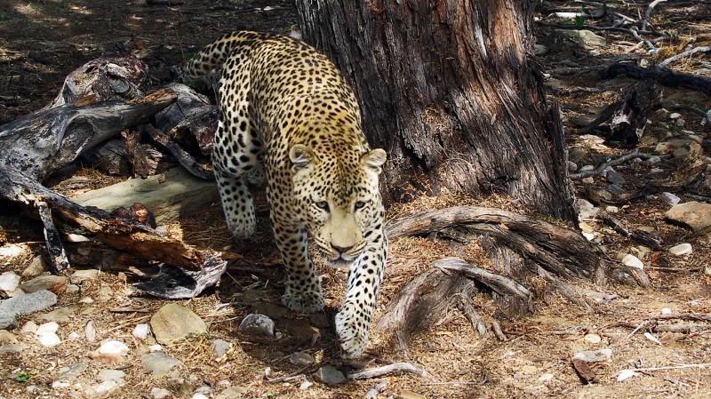 Jaguar06