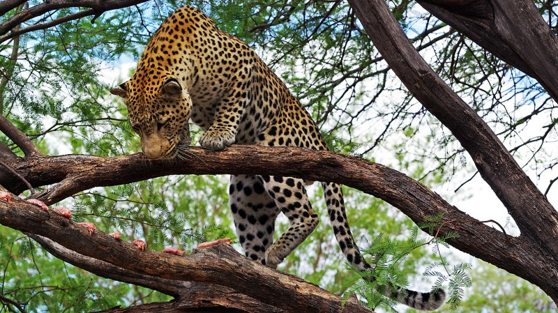 Jaguar09
