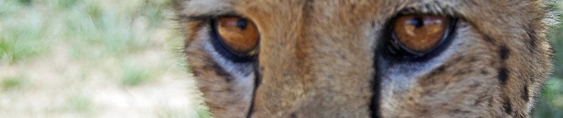 Cheetah_up_close