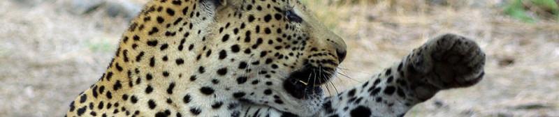 Leopard_D