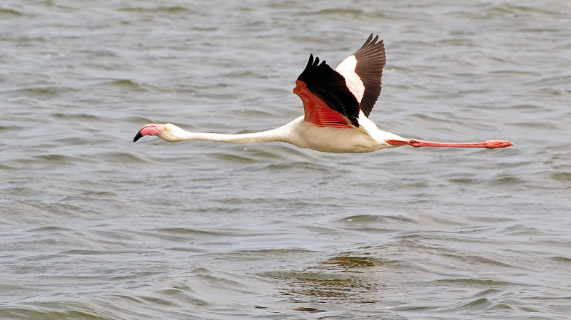 Flamingo09